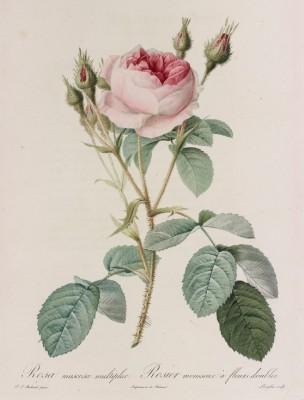 roses_Vol1