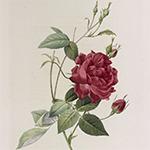 Les Roses, par Pierre-Joesph Redouté, peinte de fleurs, avec le texte par Cl.-Ant. Thory